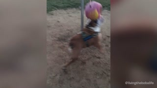 Active bulldog loves to exercise with tether ball - Video