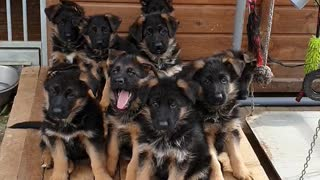 Litter of German Shepherd Puppies Tilt Heads in Confusion