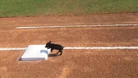 Adorable Tiny Pig Immediately Stops At First Base