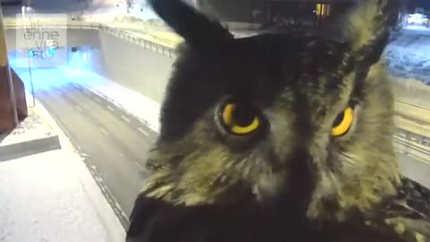 Owl photobombs highway traffic camera in Finland