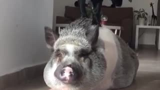 Puppy treats pig like his own personal playground