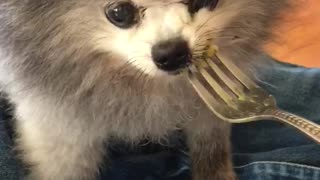 13-year-old toothless Pomeranian slurps down mac n' cheese - Video