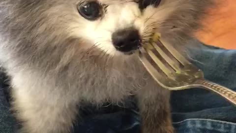 13-year-old toothless Pomeranian slurps down mac n' cheese