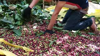 the process of harvesting coffee  - Video