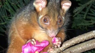 Aussie Possum Eating Pink Flower