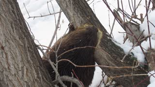 Beaver Chews Down Tree Then Swims off with a Small Branch
