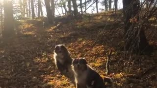 Two dogs sitting on leaves runs at camera looks happy barking - Video