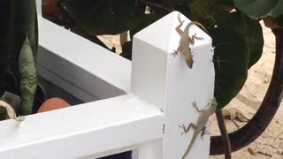 Lizard Hangs From Fence Holding Another Lizard Up By The Mouth