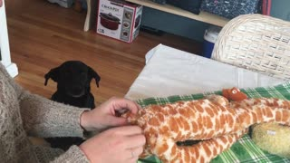 Dog Patiently Waits For Beloved Toy To Be Repaired - Video