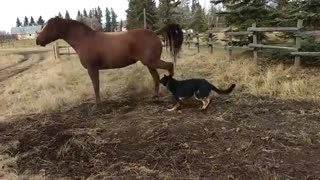 Horse Not Happy With Overly-Affection German Shepherd! - Video