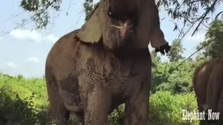 Elephant  Eats A leaf in A Forest. - Video