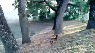 beautiful and cute goats trying to climb tree awesome video  - Video