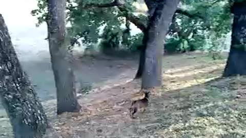 beautiful and cute goats trying to climb tree awesome video