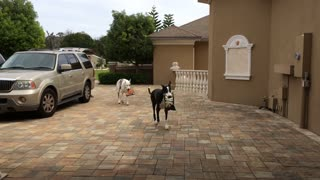 Great Danes help bring in the groceries - Video