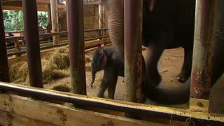 Baby elephant joins Berlin's zoo - Video