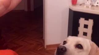 Dog sticks tongue out with squeaking duck toy
