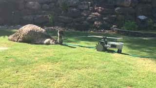 Emu Enjoys Sprinkler on Hot Day - Video