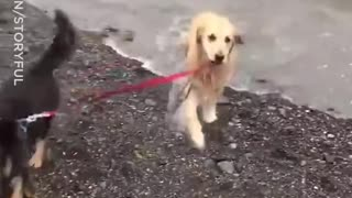 Dog Tries To Take Friend For A Swim