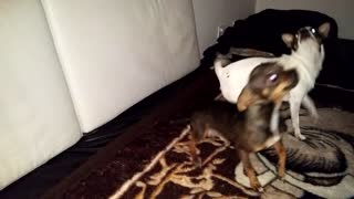 singing chihuahua puppie - Video