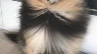 Mocha Pomeranian bath time fun  - Video