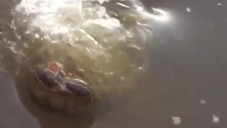 Massive fish almost swallows turtle whole! - Video