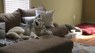 husky love 01 - Video