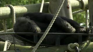 BBC Natural World - The Chimpcam Project - Full Documentary - Video