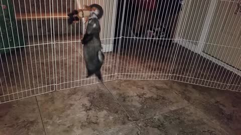 Pet ferret adorably attempts to escape over barrier
