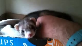 Ferret shows human her babies