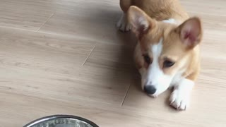 Corgi crawls to eat cereal for breakfast - Video