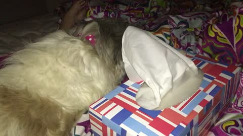 Dog steals tissues right from the box
