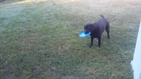 Dog Can't Decide What To Fetch