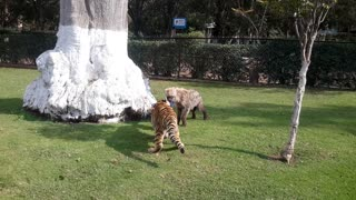 Young tiger and hyena adorably play together - Video