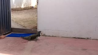 Iguana in the house
