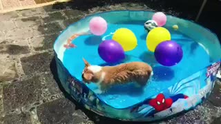 Corgi thrilled to be having pool party - Video
