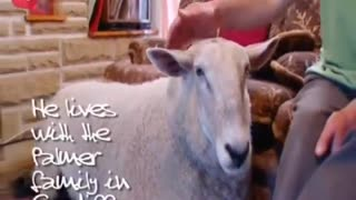 Family Live With Sheep - Video
