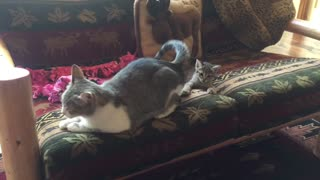 Kitten not fast enough to catch mom's tail