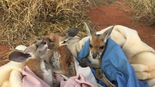 Baby Kangaroo Orphan Barry Meets His New Siblings - Video