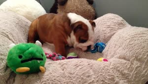 Bulldog puppy's priceless facial expression - Video