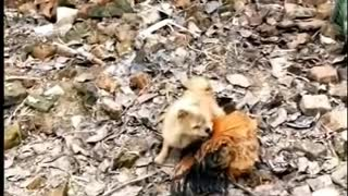 Funny Dog VS Chicken Fight