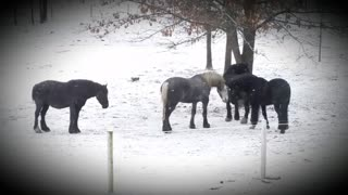Silly gelding horses playing mouth tag  - Video