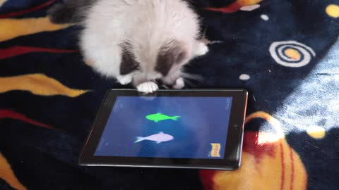 Ragdoll kitten destined to be serious gamer