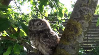 Tiny owl is sitting on an apple tree in my garden - Video