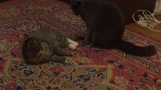 two cats playing  - Video