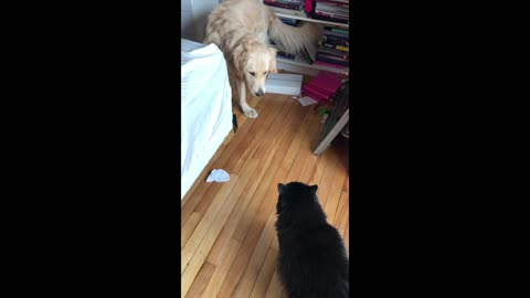 Dog is scared of big black cat