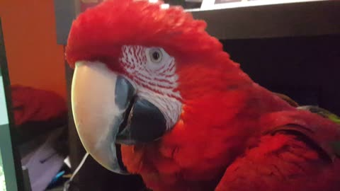 Parrot love watching themselve on tv