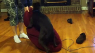 Stubborn Dog Acts Like A Tick And Refuses To Leave The Lazy Bag - Video