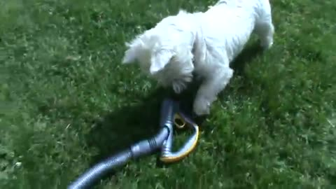 Funny dog does not like hoover