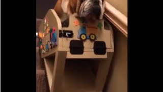 Hank the Bulldog using his custom stair lift - Video