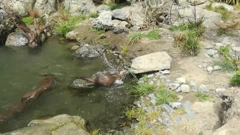Crafty Otter Makes DIY Sprinkler For His Private Pool Party